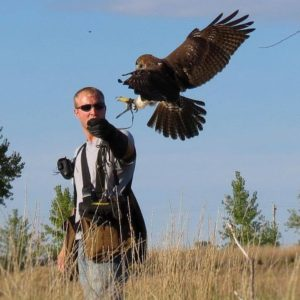 Dega, a Ferruginous Hawk, returns to Remmenga's glove while hunting. Courtesy